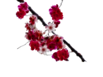 Painted Cherry Blossom png
