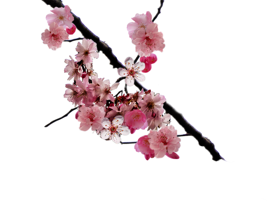 cherry blossom branch - photo #1