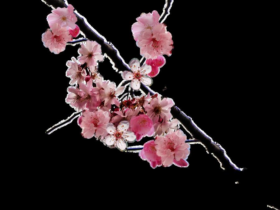 cherry blossom branch - photo #1