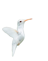 Little albino humming bird png stock by DoloresMinette