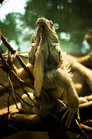 Lizard by matmoon