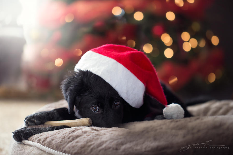 christmas puppy by jaelise
