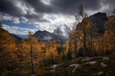 glowing larches by JaclynTanemura