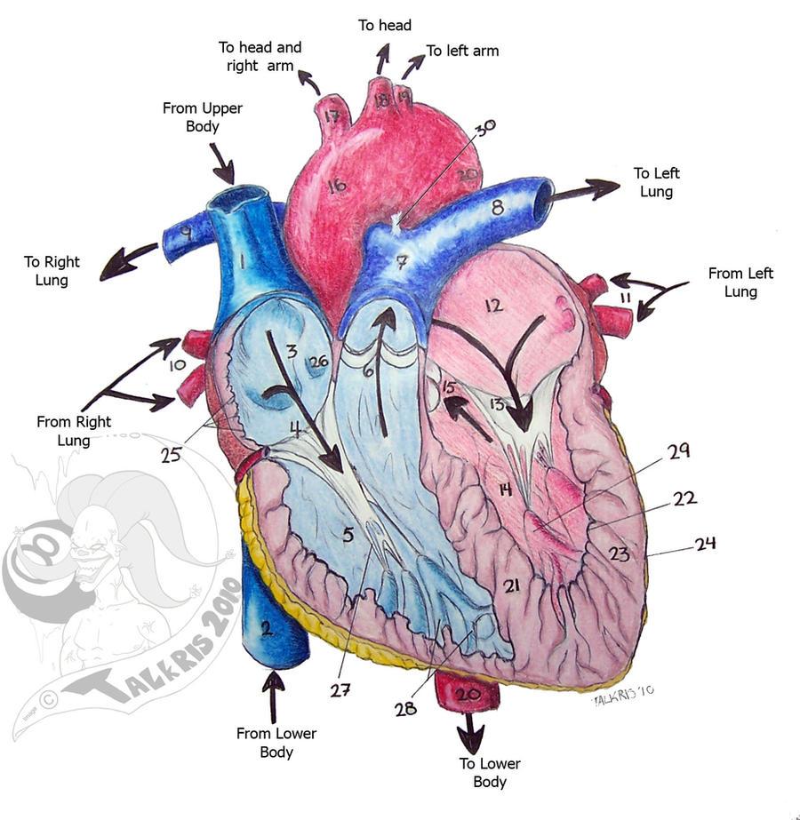 heart diagram 2 by talkris on deviantart, Muscles