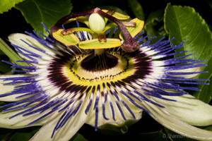Passionfruit Flower by ShannonIWalters