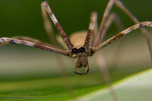 Rufous Net Casting Spider 01 by ShannonIWalters