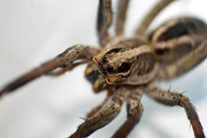 Wolf Spider by ShannonIWalters