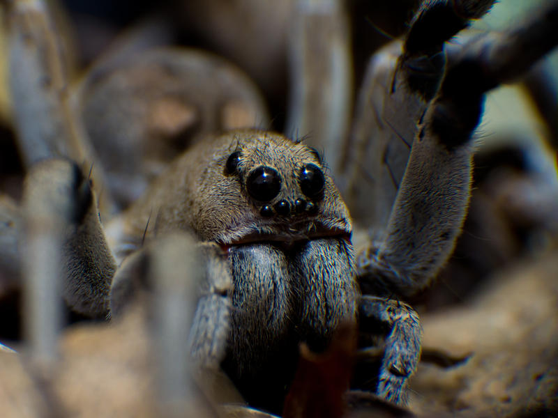 Grey Wolf Spider 01 by ShannonIWalters