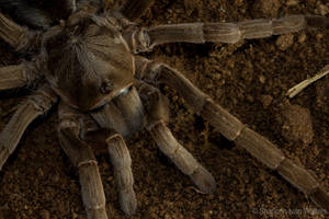 Tarantula by ShannonIWalters
