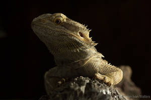 Dragon Portrait via Helios 44M-4