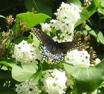 Black Monarch 2