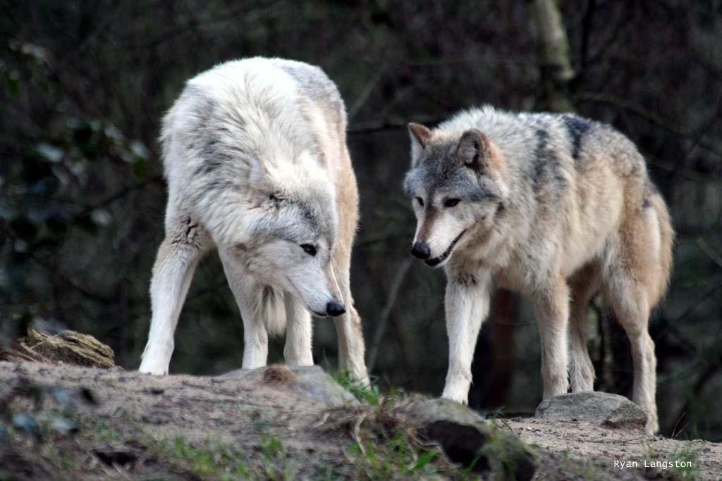 http://fc06.deviantart.net/fs9/i/2006/065/a/7/Wolves_by_VorpalMalice.jpg