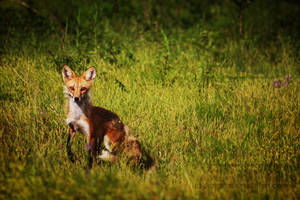 Our Wild Fox by Janexas