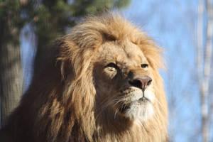 Lion 2 by MajorSamCarter