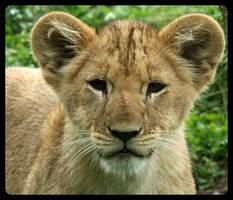 Lion cub by MajorSamCarter