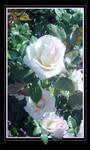 Love in the Rose Garden