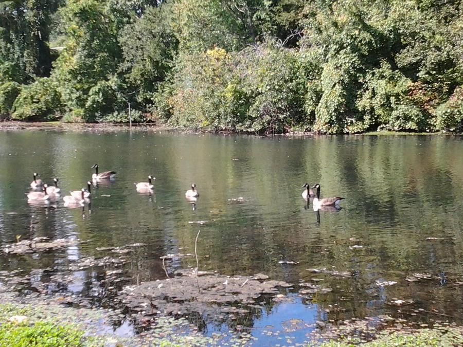 Geese at Beardsley Park by GUDRUN355