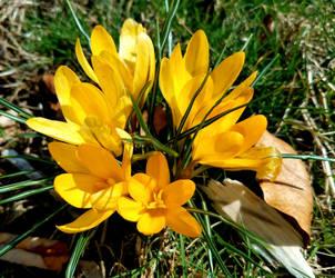 Crocus  in Yellow by GUDRUN355