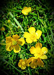 Some Buttercups