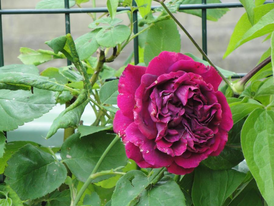 veel last van roos