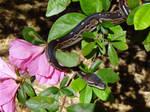 Cinny - Cinnamon Ball Python female by runninghorsespirit