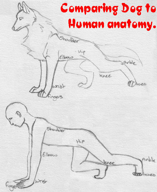Male puppy anatomy