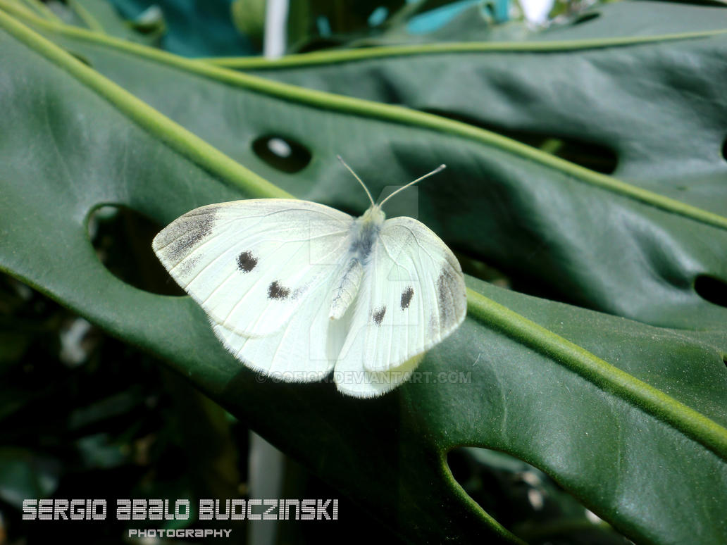 Butterfly by Gofion
