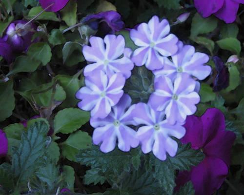 purp flower