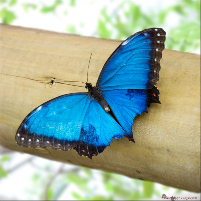 Blue Morpho - open wings