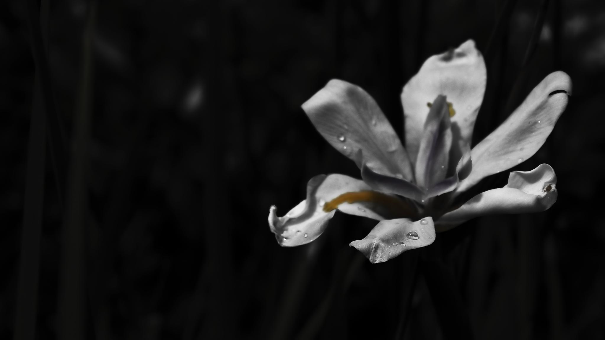DOF Daylilly by RyoThorn