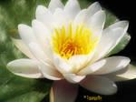Lotus by topangachick