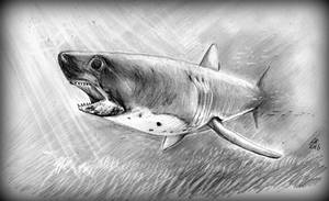 Salmon Shark in Shallow Waters