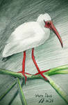 White Ibis by philippeL