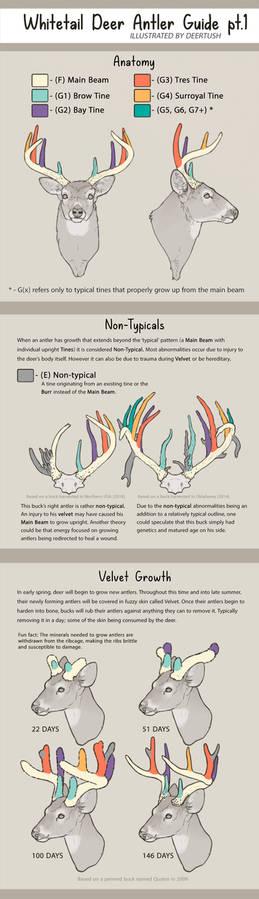 Whitetail Antler Guide pt.1