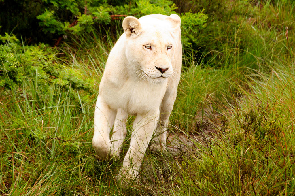 White Lion 01 by mynameis8523 on DeviantArt