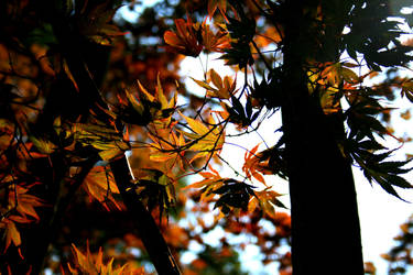 japanese maple by squiLLNRd