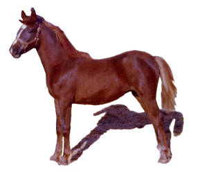 Horse standing stock no background SM