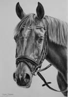 Arabian horse in graphite