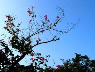 Bauhinia blakeana flower 2 by BlueCerise