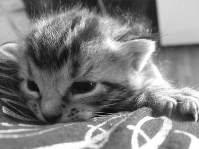 Tabby Kitten by XiaAmane