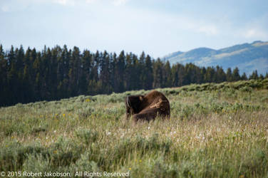 Bison Field by rjakobson