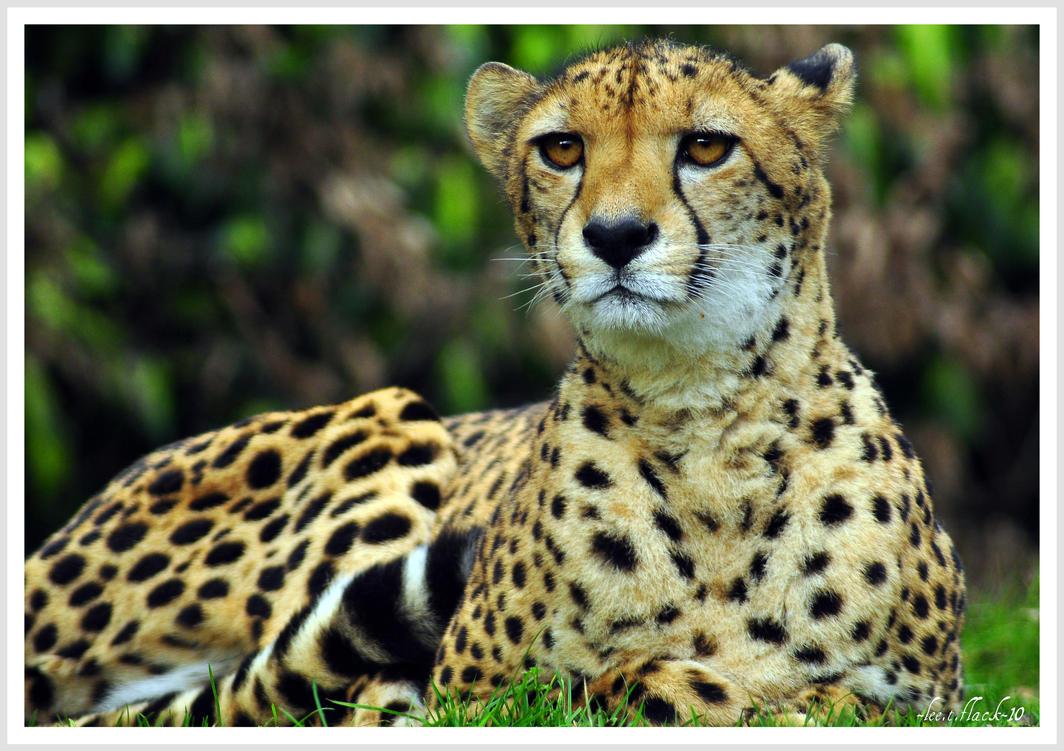 cheetah88 by photoflacky