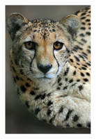 cheetah female by photoflacky