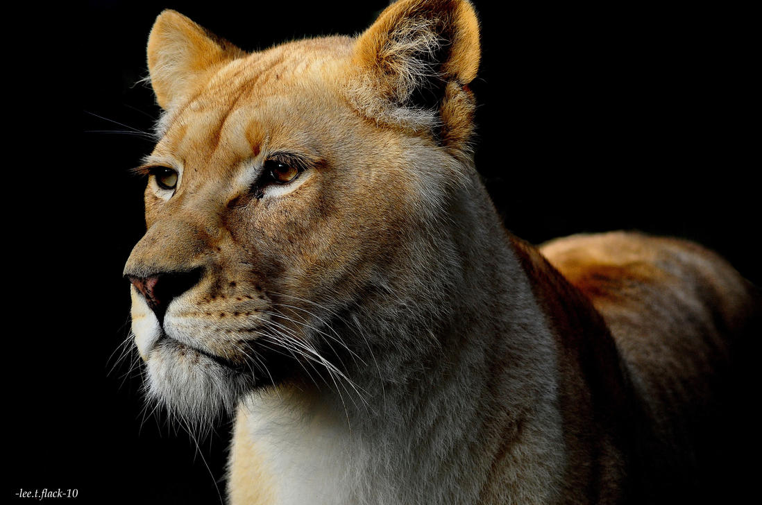 Nature Photography Lioness Large Yello Beautiful