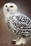 owl white2 by photoflacky