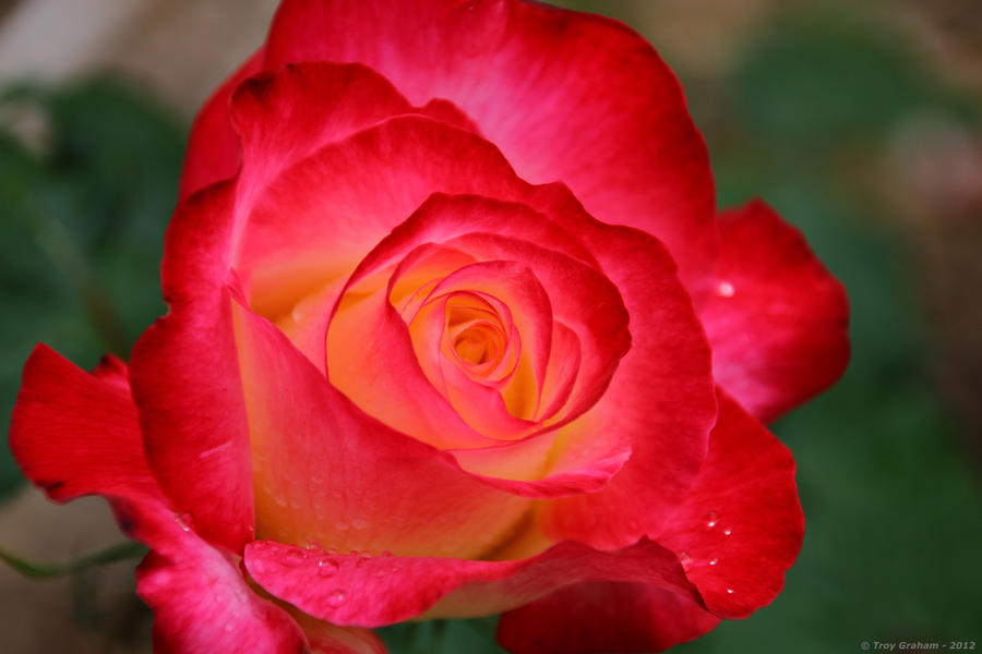 Hybrid rose red pink orange by droy333 on deviantart hybrid rose red pink orange by droy333 mightylinksfo