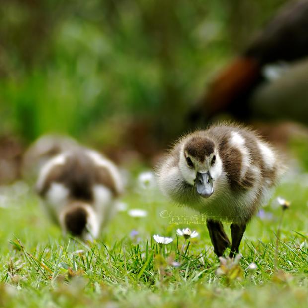 Quack, quack! by dragonfly-oli