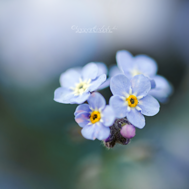 Forget me not. by dragonfly-oli