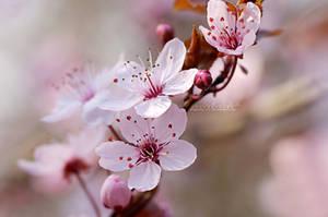 Cherry Blossom Spring. by OliviaMichalski