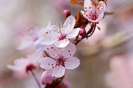 Cherry Blossom Spring.
